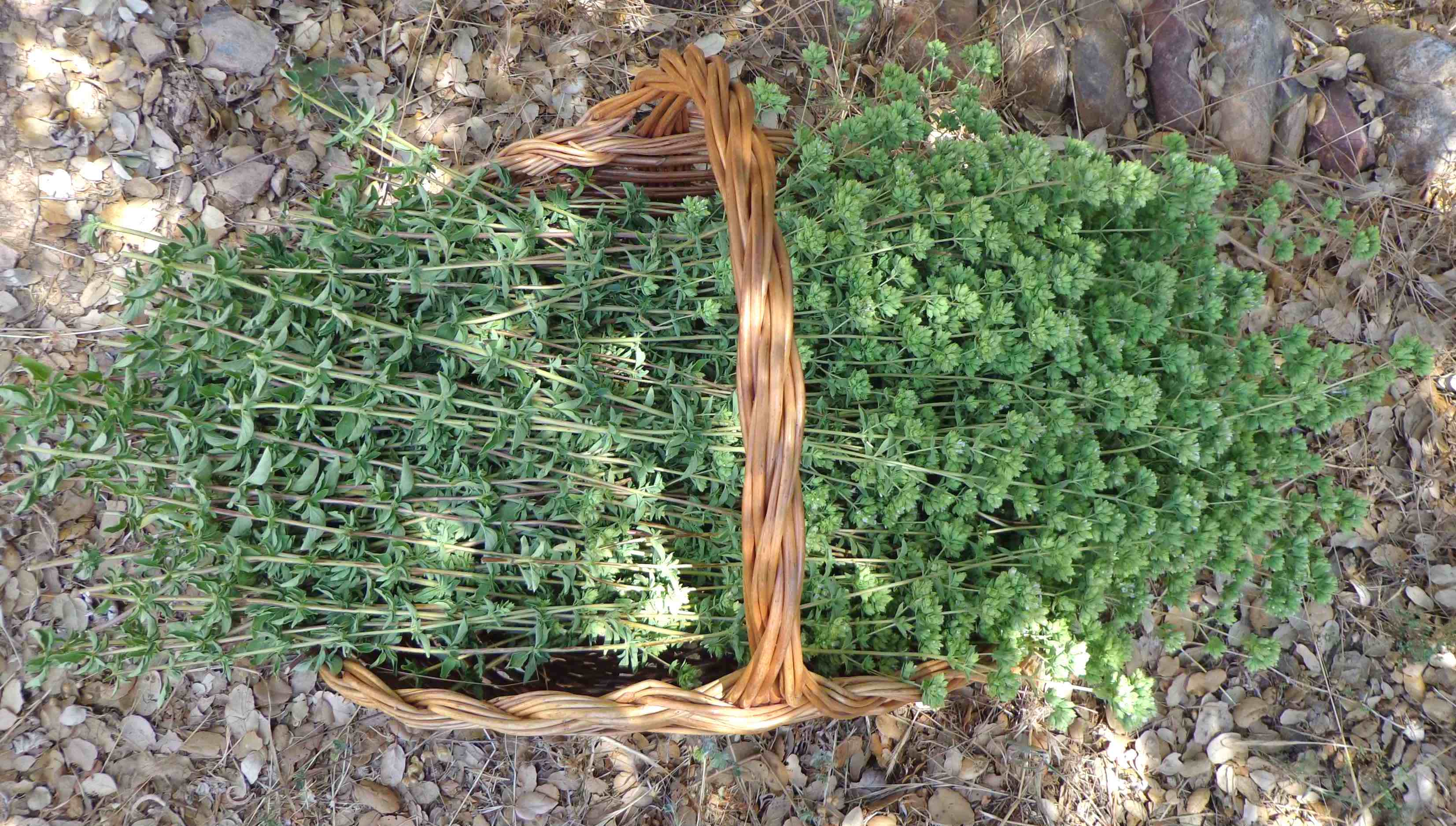 oregano basket foot